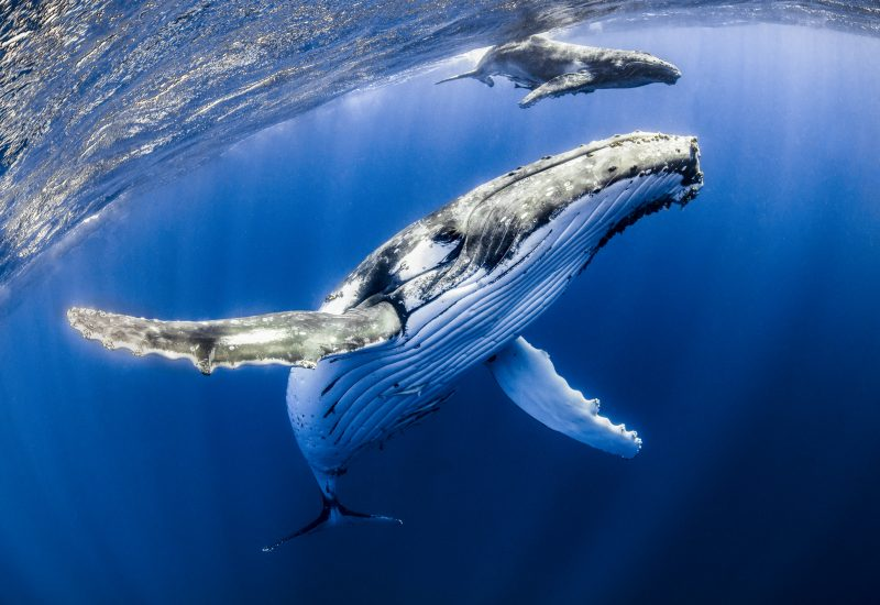 Humpback mother and calf, with a snorkeler, in Tonga.